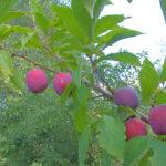 Prunus_domestica_Europese_cultuurpruim_Anna_späth_1